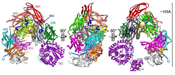 Macroglobulin like protease inhibitor