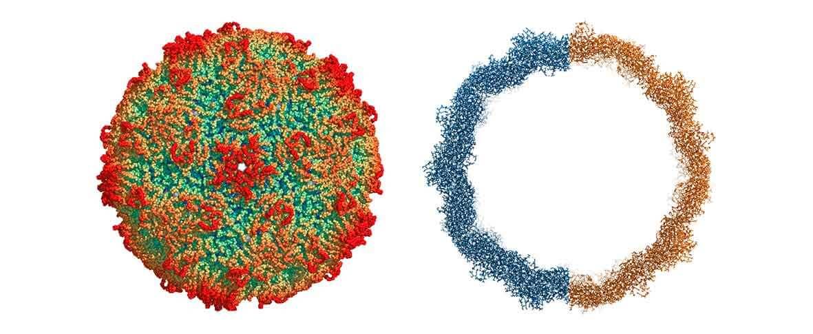 rinovirus capsid