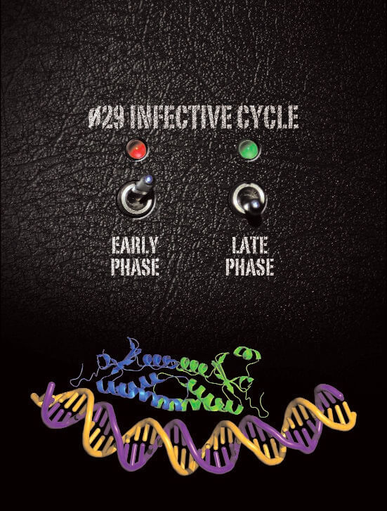 phi29 transcription regulator