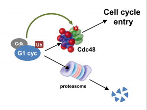 Cdc48/p97 segregase is modulated by cyclindependent kinase to determine cyclin fate during G1 progression
