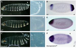 Holes in the Plasma Membrane Mimic Torso-Like Perforin in Torso Tyrosine Kinase Receptor Activation in the Drosophila Embryo