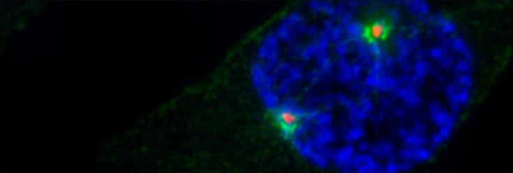 Nek9 Phosphorylation Defines a New Role for TPX2 in Eg5-Dependent Centrosome Separation before Nuclear Envelope Breakdown