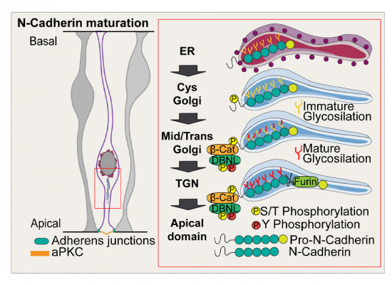 Feature-Graphical abstract_Dbnl and β-catenin promote pro-N-cadherin processing to maintain apico-basal polarity